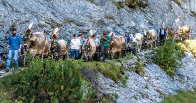 Kuh-Alpabtrieb vom Flimserstein am 18. September 2021